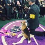 Meet the Beagle: 'Miss P' Wins Westminster Best in Show Title