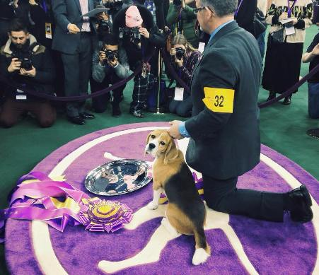 miss p beagle westminster best in show