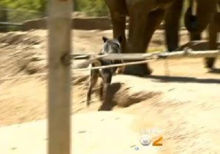 dogs herding elephants at Pittsburgh zoo