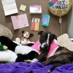 Amazing Progress for Cabela, the Dog Tied to Railroad Tracks and Shot