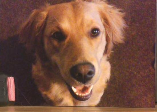 golden retriever died from xylitol gum