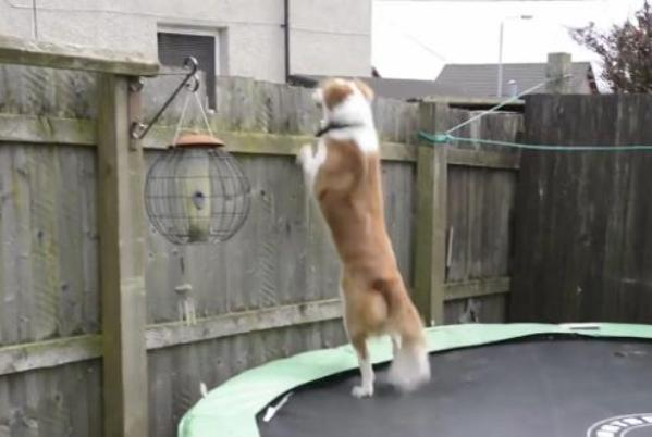 dog bounces off trampoline and over fence