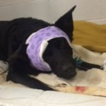 Chicago Police Save Life of Dog Shot in Domestic Dispute