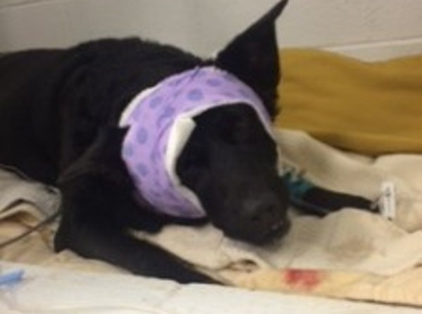Sophie Chicago dog shot in head