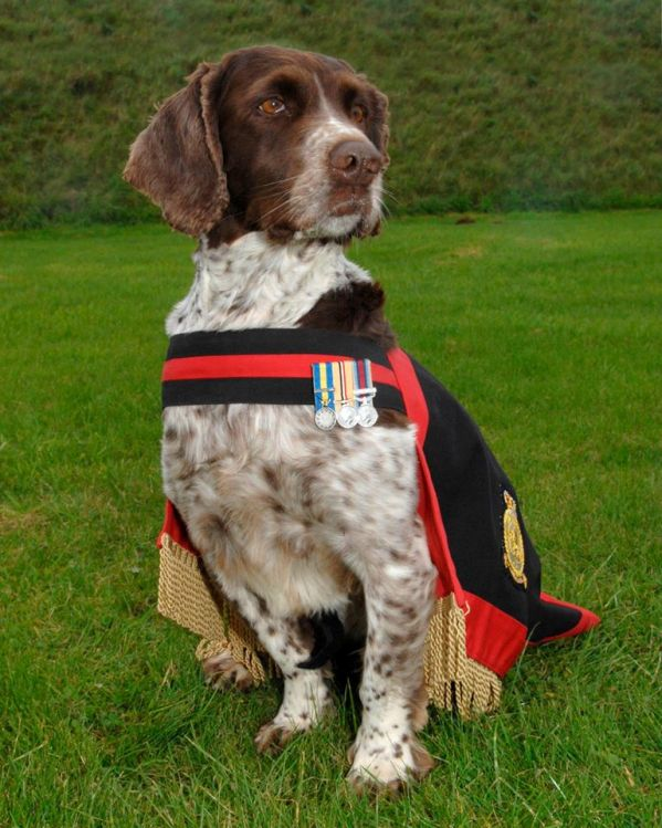 Buster bomb-sniffing RAF military dog