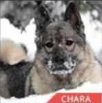 Chara hearing dog finalist AHA Hero Dog Awards
