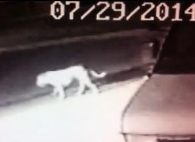pit bull mistaken for mountain lion in norwalk