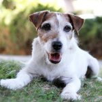 RIP Uggie, Scene-Stealing Star of 'The Artist'