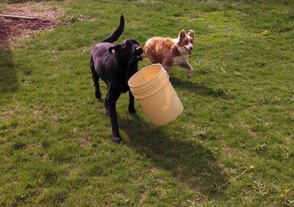 PHARM Dog USA dog carries bucket for farmers