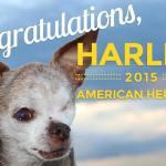 Puppy-Mill Survivor Harley is 2015 American Hero Dog