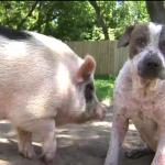 Lost Dog and His Pig BFF Safely Back at Home