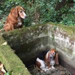 Dog Stays with Trapped Basset Hound Until Help Arrives a Week Later