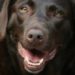 Trigger the Chocolate Lab Shoots Hunting Dog Mom in Foot