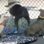 Wow: 'Remarkable Recovery' of Emaciated Pit Bulls at Downey Shelter