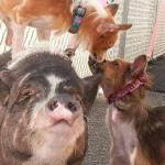 Pot-Bellied Pig and Her Pooch BFFs Need Forever Home Together