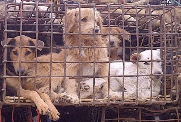 dogs in cages dog meat