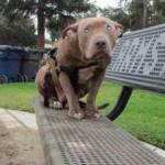 Blind Pit Bull Abandoned on Park Bench Enjoying New Forever Home
