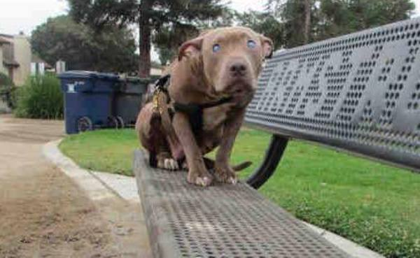 Poly blind pit bull abandoned on bench