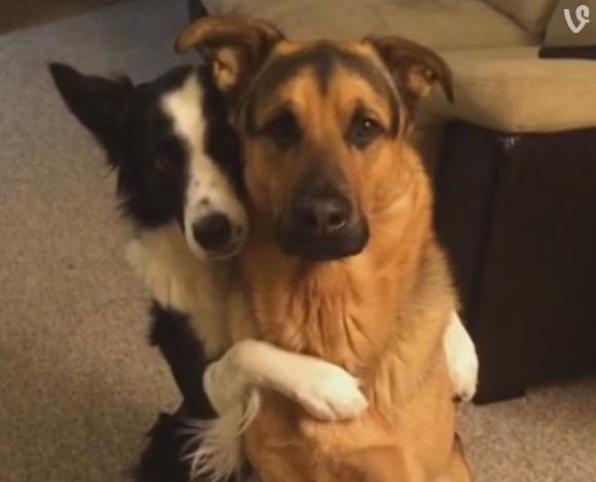 border collie hugs german shepherd best friend
