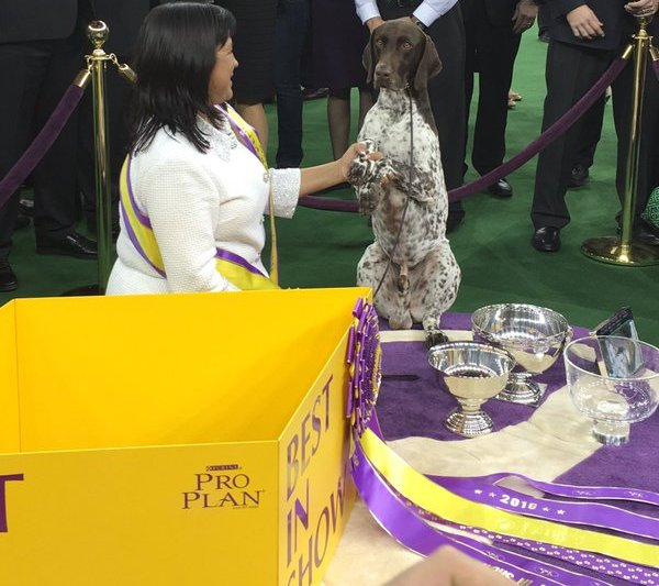 CJ German Shorthaired Pointer wins Westminster Best in Show