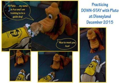 guide dog meets pluto at disneyland