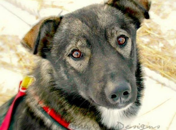 Nash Iditarod sled dog killed by snowmobiler