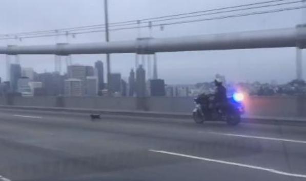 chp chases chihuahua in san francisco