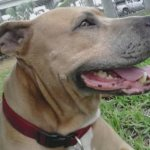 Pit Bull Service Dog Dies While Saving Owner from Alligator Attack