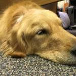 LCC Comfort Dogs and Handlers Injured in Random Shooting