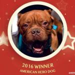 Congrats to Hooch! French Mastiff with No Tongue Wins 2016 American Hero Dog Title