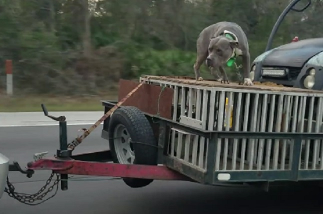 dog riding on trailer florida