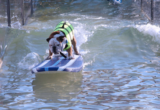 Lucy Pet Rose Parade float surfing dog