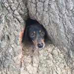 Thanks to Kentucky Troopers, Dachshund Rescued from Tree Trunk
