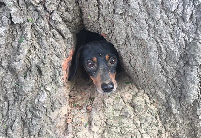 dachshund stuck inside tree trunk