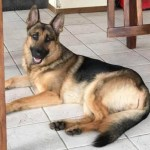 Hero German Shepherd Shot 3 Times Protecting Boy During Home Invasion (He's OK!)