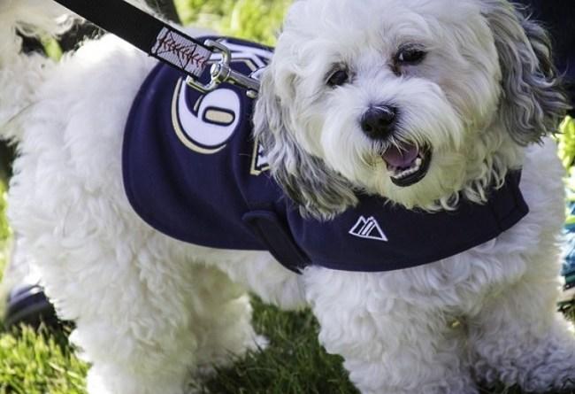 Milwaukee Brewers mascot Hank the Dog