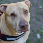 Hooray! US Dept. of Transportation Says Delta Airlines Can't Ban Pit Bull Service Dogs