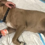 Hero Pit Bull Dies after Protecting His Family from a Deadly Snake