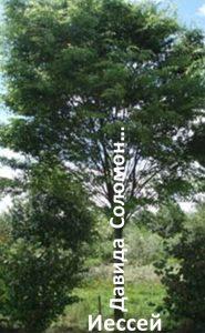 Исайя изобразил династию в виде дерева
