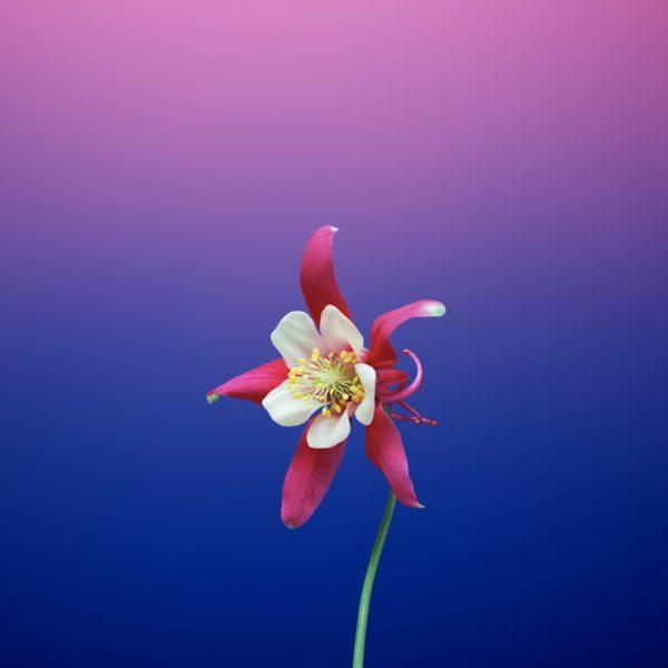 iOS_11_GM_Wallpaper_Flower_AQUILEGIA-740×740