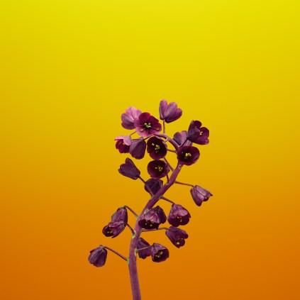 iOS_11_GM_Wallpaper_Flower_FRITILLARIA