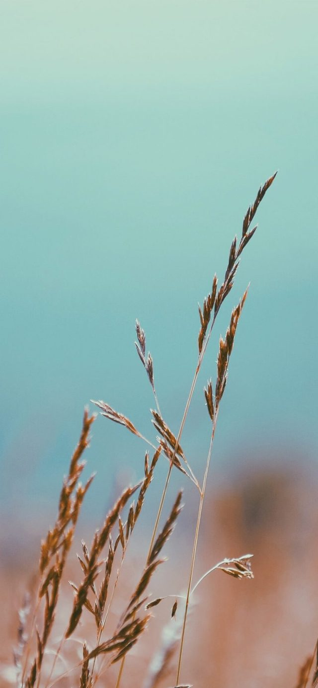 autumn-grain-wallpaper-iPhone-XS-Max-768×1662