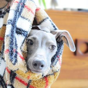 イタグレ|寒い!寝袋で散歩に行こうよ