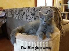 Blue Mist Glare cattery - nebelung