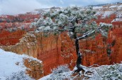 Bryce Canyon Pine Tree in Snow
