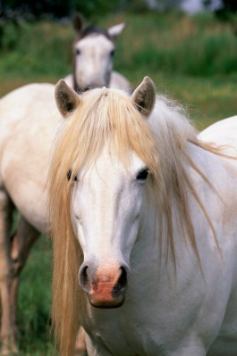Camargue Horses in the Rhone Valley of Provence, France