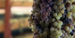 Passito Wine Grapes