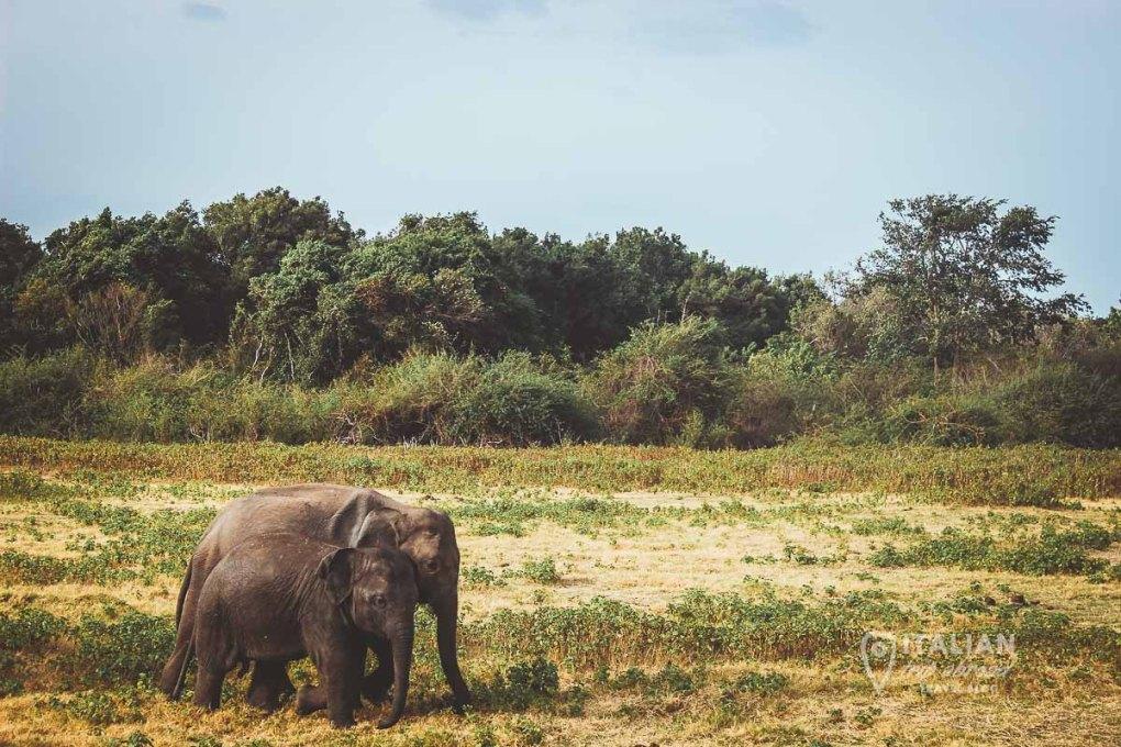 Wild Elephants in Sri Lanka