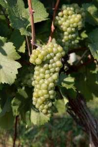 153949013-Pinot Bianco