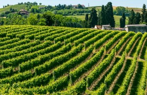 180654971-Langhe hills and vineyards